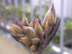 botão da flor de Kalanchoe tubiflora