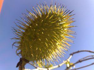 Fruto da alamanda