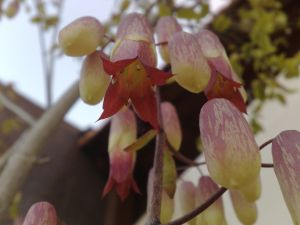flor de saião 2