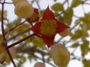 flor de saião 3