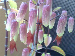 flor saião